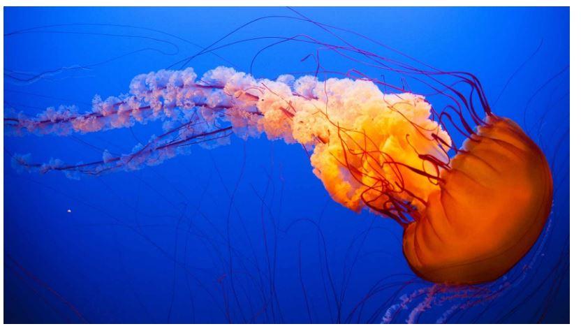 How Do Jellyfish Eat