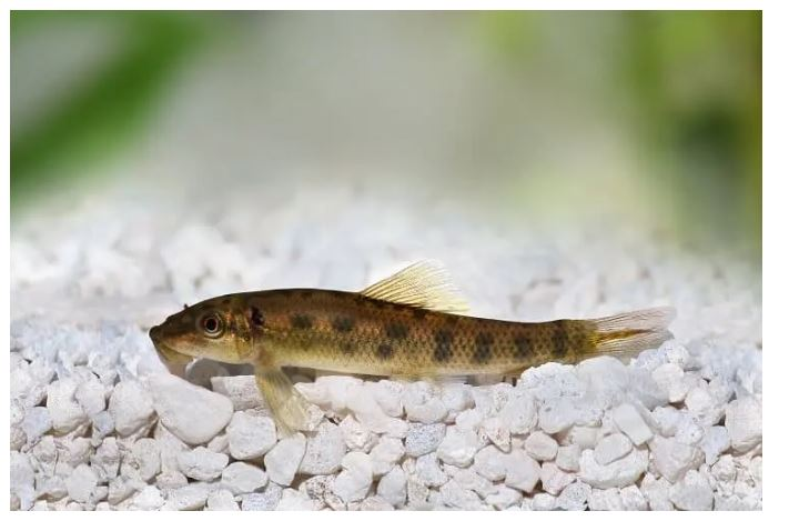 Chinese algae eater care: Size, Life span, tank mate; all Questions well explained