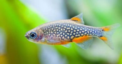 Galaxy Rasbora care, celestial pearl danios care: tank, breed, size and all questions well answered