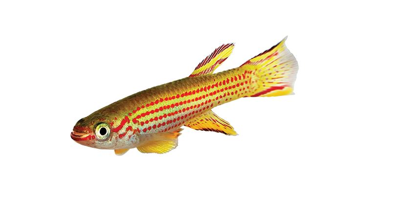 Killifish care: Species, Tank Conditions, Diet and Breeding, Crown Killifish complete Guide