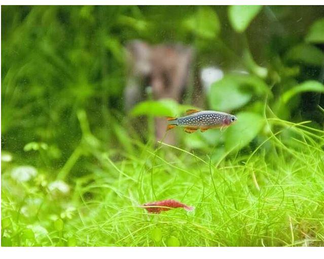 rasbora fish