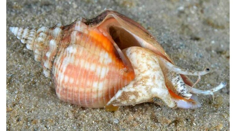 The‌ ‌Complete‌ ‌Fighting‌ ‌Conch‌ ‌Care‌ ‌Guide‌ | Fighting conch snail