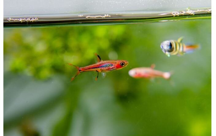 The Complete Guide to Chili Rasbora Care