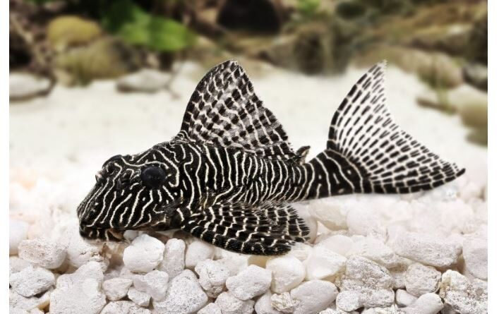 The Ultimate Guide to Zebra Pleco Care
