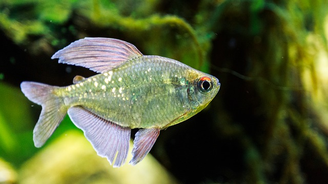 Bucktooth Tetra Care, Feeding, Aggression, and More